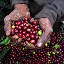 Brazil Café y los manos de le Cafero