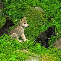 Wolf Centre
