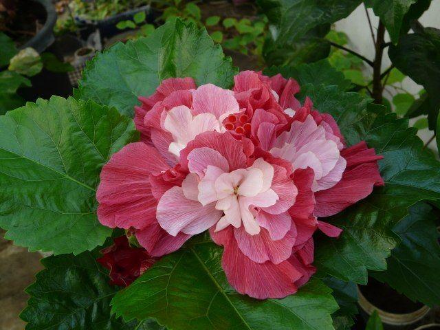 Гибискус Pink Boquet Фото Сергея Маринкова. (с ...