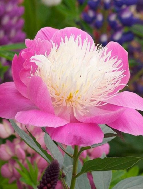 Paeonia lactiflora 'Bowl of Beauty'