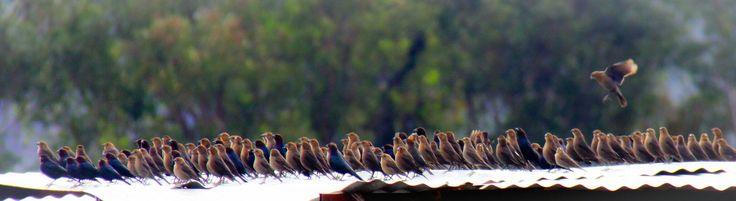 Pinzones   Tomando el sol y saludandolo, es el ritual matutino de esta parvada de pinzones.  #pinzones #aves #birds #oaxaca