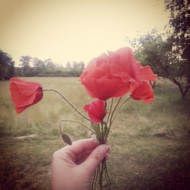 Dzień dobry.    Good morning. #dzieńdobry #goodmorning #kwiaty #flowers #maki #poppies #nawsi #countryside #prosteżycie #simplelife #kupiliśmydworek