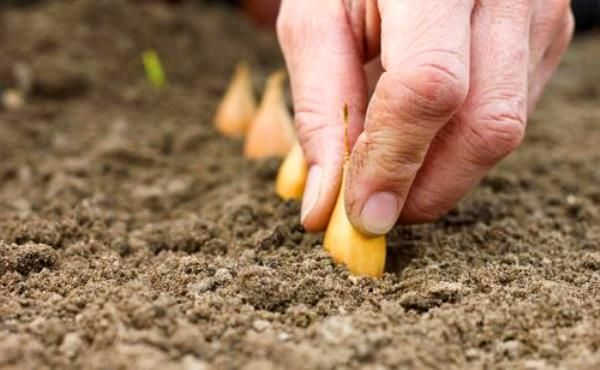 С опытом я убедилась, что без предварительной подготовки лукасевка перед посадкой надеяться на хороший урожай репки не приходится. Раньше севок ничем не обрабатывала, в лучшем случае за пару часов до …