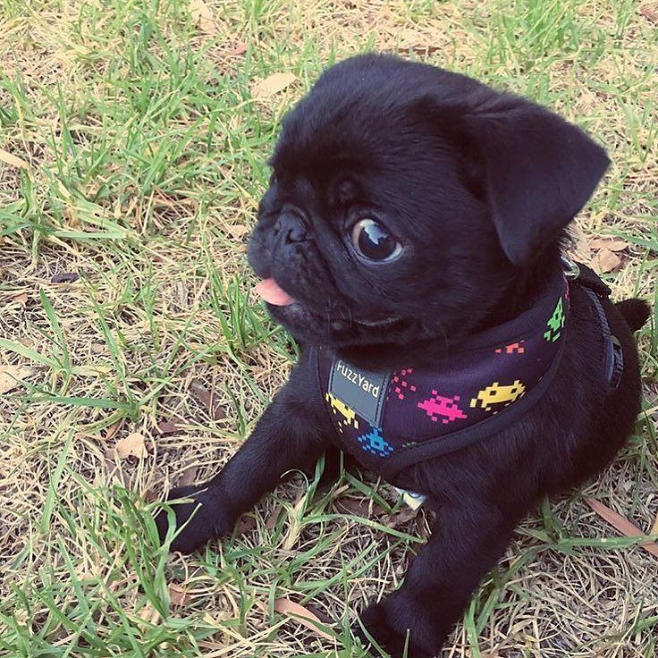 What Is Cuter Than A Baby Pug Poking Their Tongue Out For Tot