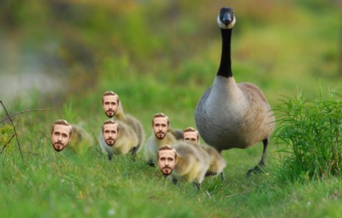 A bunch of Goslings.