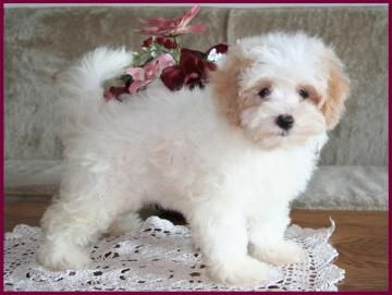 Maltipoo....I want one but I don't want one!  But if I did get one this is what I would get.  Haha!