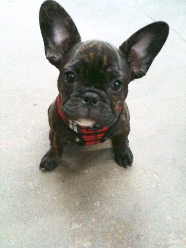 Cappuccino, the French Bulldog Puppy, at 5 months old 🐾❤️