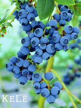 Caliente venta! 100 unids/lote Blueberry semillas de árboles de arándanos de la fruta en macetas semillas de árboles bonsai, #9Z2NY7(China (Mainland))