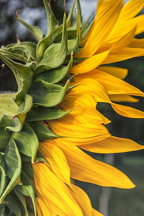 17 best sunflowers images on pinterest sunflowers for Covent garden pool table