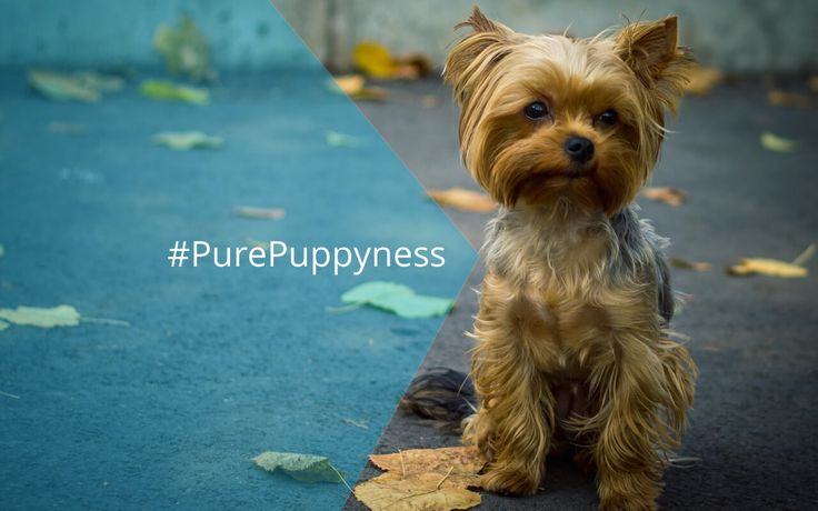 History of the Yorkshire Terrier