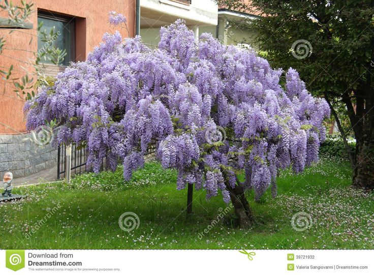 Large image chinese blue wisteria tree http thumbs - Como hacer jardines verticales ...