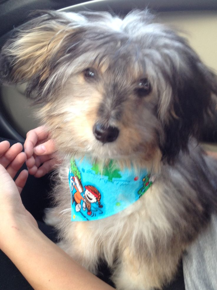 Cooper! Our papillon- poodle mix puppy. | my dogs.... | Pinterest