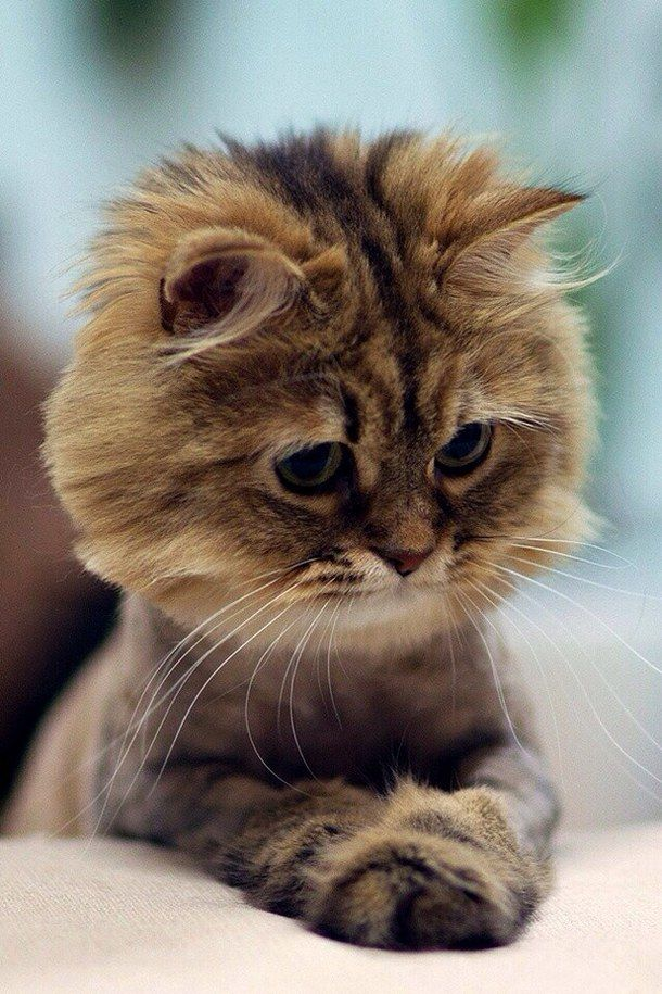 Golden tabby cat with a sweet lion cut Cute Cats