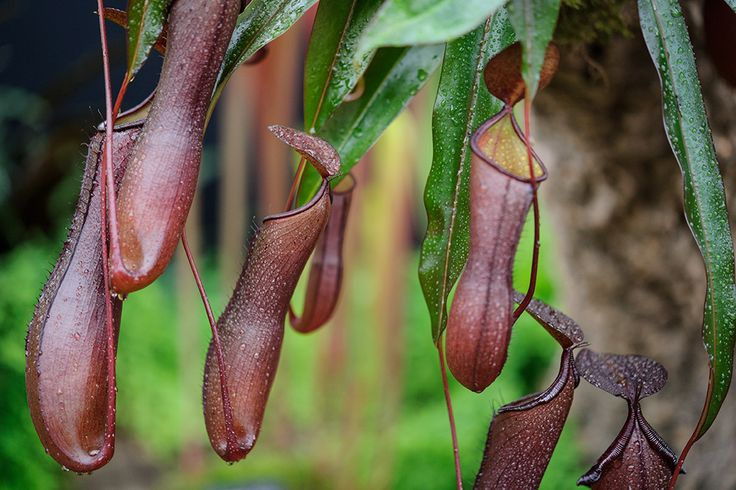 Houseplants: the pitcher plant (Nepenthes 'Rebecca Soper') is a carnivorous plant, which drowns insects in its liquid-filled 'pitchers'. Keep in a humid, shady spot. Water frequently with rainwater. More exotic house plants here http://www.gardenersworld.com/plants/features/plants/10-exotic-house-plants/3482.html