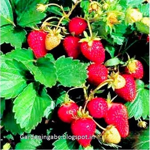 Growing Strawberry: Some Points To Remember   Gardening ABC