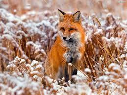 Lis - gatunek drapieżnego ssaka z rodziny psowatych, który ma piękną, rudo - białą sierść.