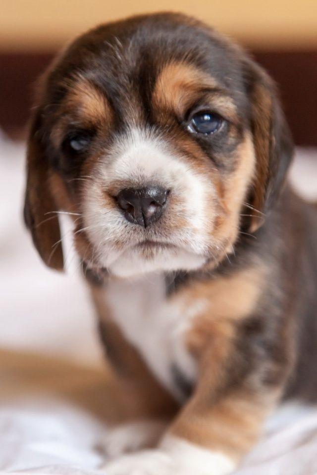 Beagle Screen Wallpaper