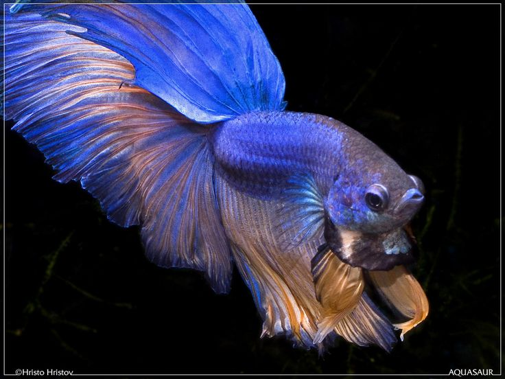 Click this image to show the full size version for Show betta fish