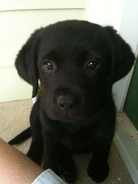 Der unschuldige Labi-Blick - perfektioniert! :) | cutepuppyoftheday.com | #Labrador #LabradorRetriever