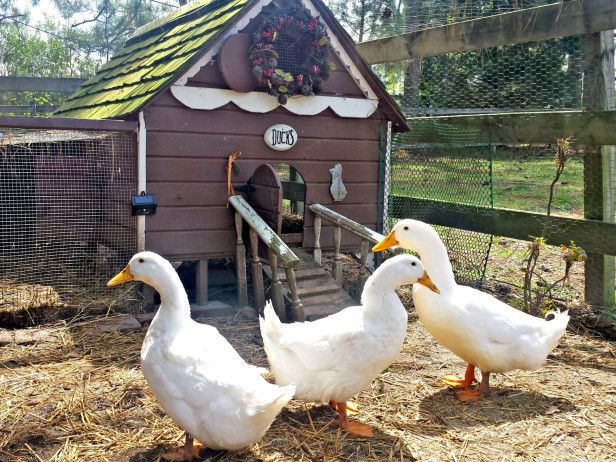 A Guide to Duck Houses Here's six things to consider when building a home for backyard ducks. - See more at: http://www.hgtvgardens.com/ducks-and-geese/a-guide-to-duck-houses#sthash.JROFKxZl.dpuf