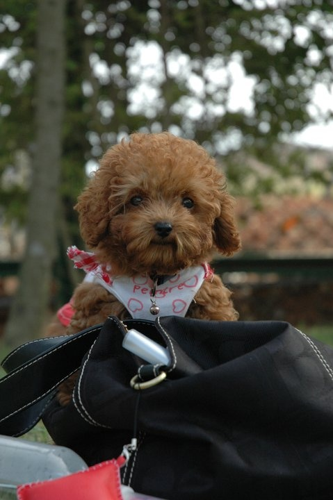 cute baby poodle | Oodles of Apricot Poodles | Pinterest ...
