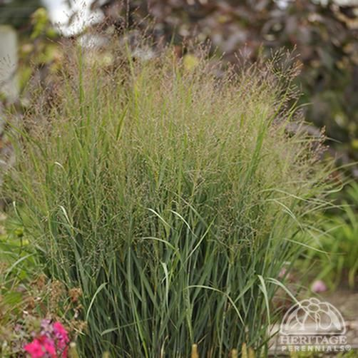 13 best drought tolerant waterwise ornamental grasses for Red and green ornamental grass