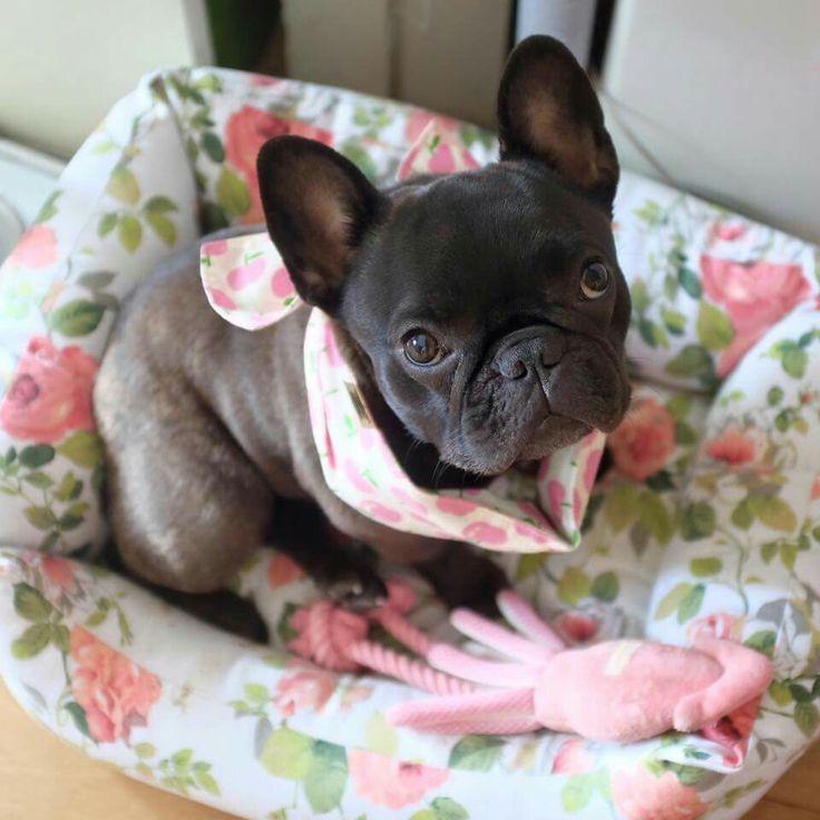 'Miso', French Bulldog Puppy, Japan