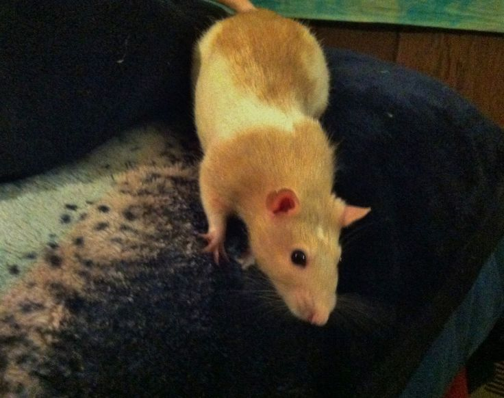 Do you need to introduce a new pet rat to your rat family? Learn the gradual, step-by-step introductory process recommended by experts along with useful tips and personal insight.