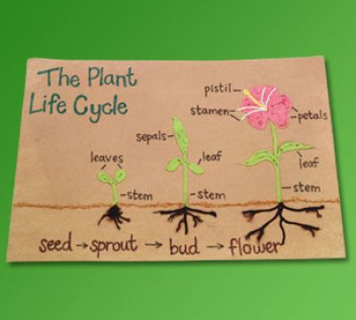 """Great school project describing """"The Life Cycle of a Plant"""""""
