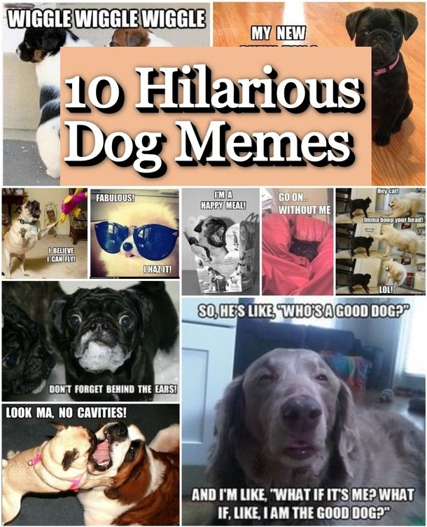 We have gathered the funniest dog memes from around the web.  These dogs are hilarious and cute. funny cute memes animals dogs animal pets meme puppies funny animals