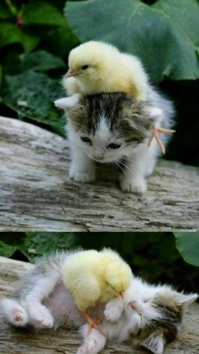 HOW CUTE IS THIS!!!!! BABY CHICKEN AND KITTEN!!!!!!!