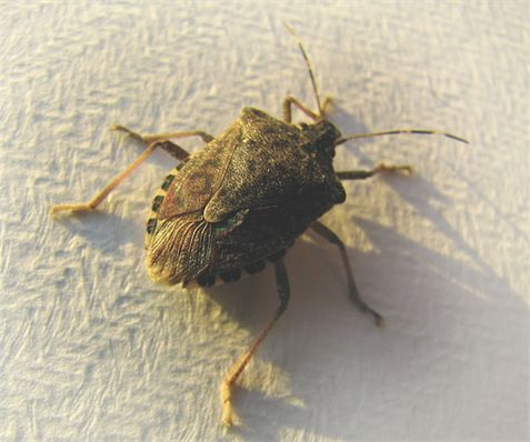 Stink bug control information pinterest bays tips - How to get rid of stink bugs in garden ...
