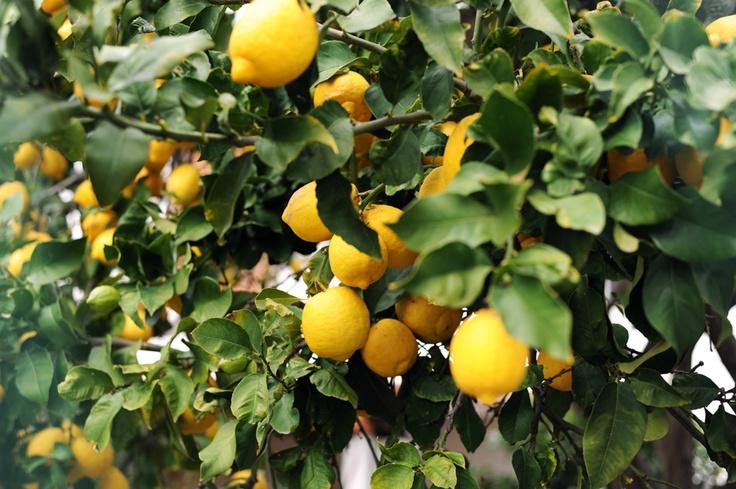 Lipari lemons