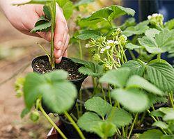 Erdbeeren vermehren | Erdbeerpflanzen durch Ableger vermehren