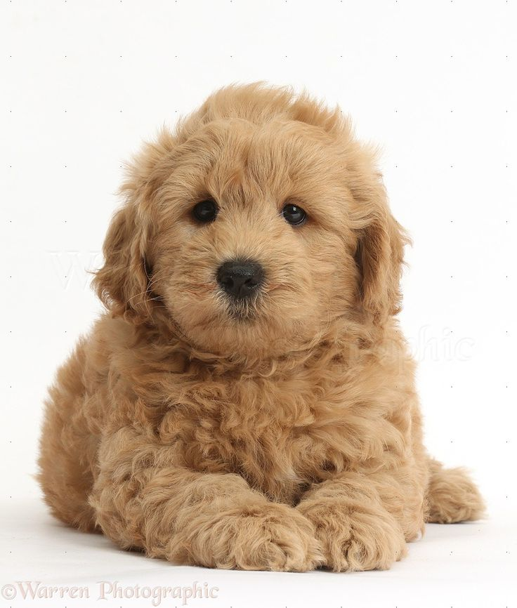 Dog: Cute F1b Goldendoodle puppy photo - WP37274