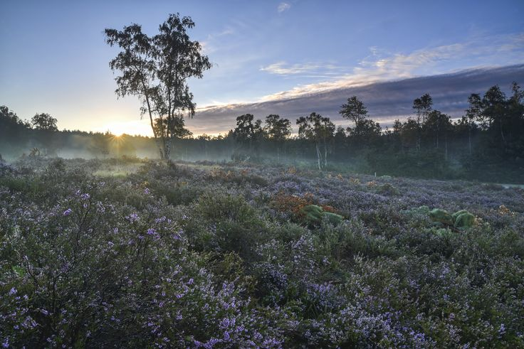 Sunrise over the misty purple heather by Harald Meert / 500px