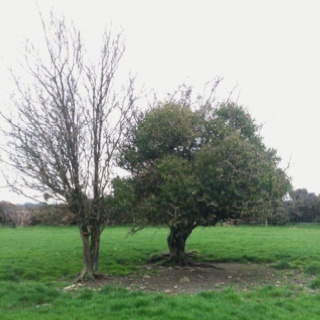 I love these two trees in the middle of a field down our lane - I'm sure there must be a romantic legend about them!