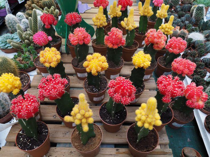 Sei sulle spine per i regali, vieni al garden a vedere il nuovo assortimento di piante grasse!!