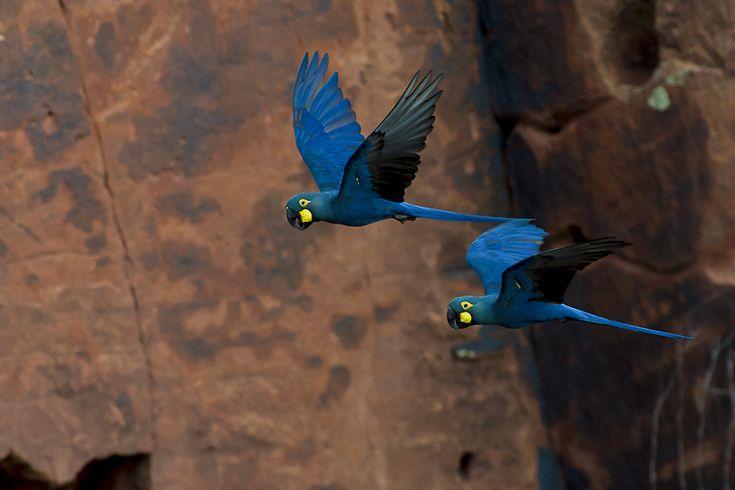 Araras-azuis-de-lear ([i]Anodorhynchus leari[/i])em pleno voo.  Canudos, Bahia. Foto: [url=https://www.flickr.com/photos/jquental/13935238779]Joao Quental[/url]