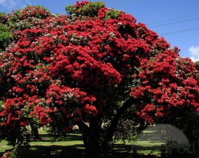 The Pohutakawa Tree.  Native to New Zealand.  Its our 'Christmas' tree.  It flowers at Christmas time...our summer