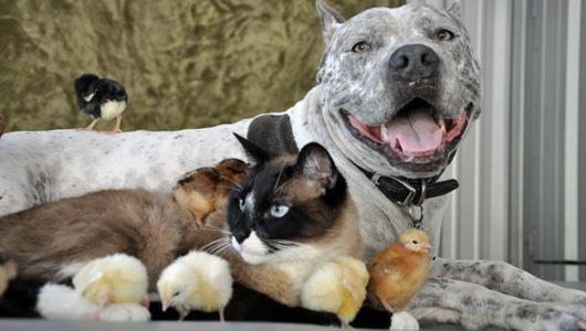 Beautiful pit bull, kitty and chicks!