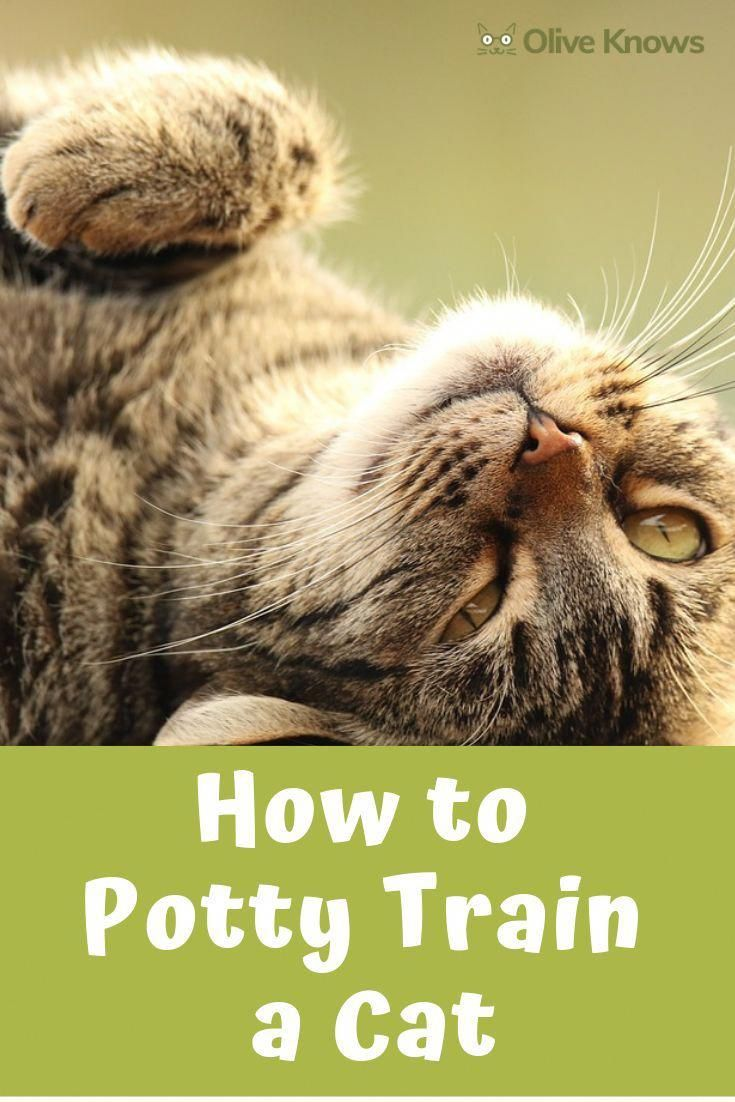 How To Potty Train A Cat Cat Training Cat Toilet Training Cats