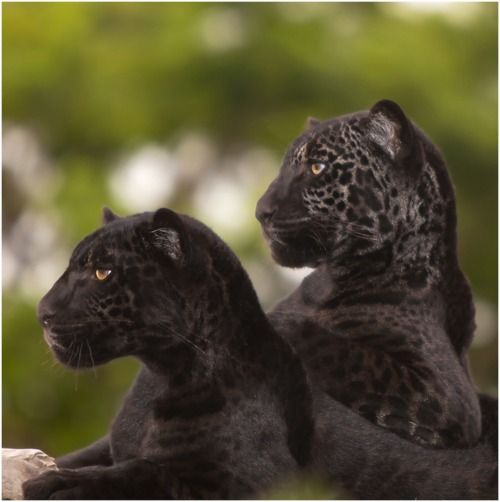 black leopard, one of my favorite animals.