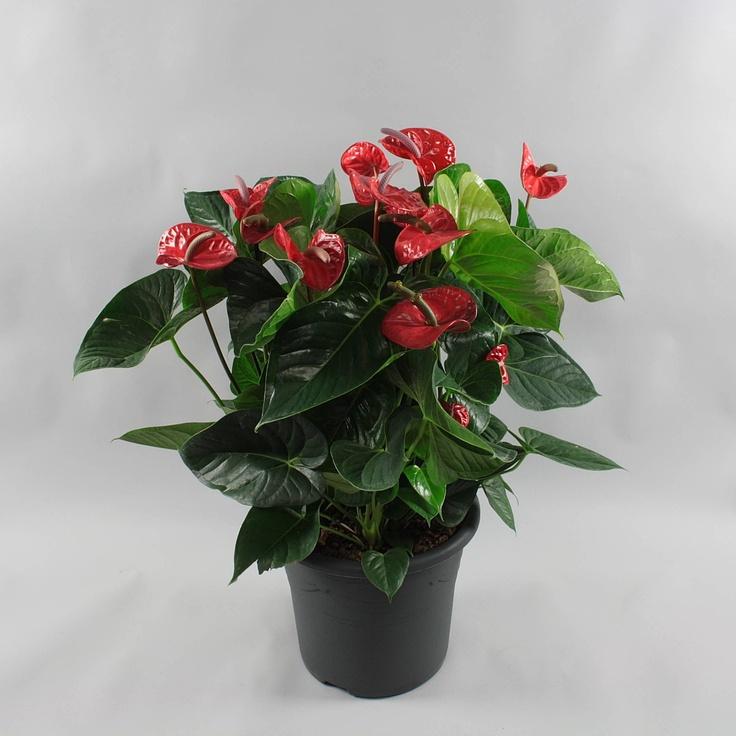 Anthurium andr. Lipstick Red Ø32cm