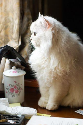 chinchilla cat sit down near the window