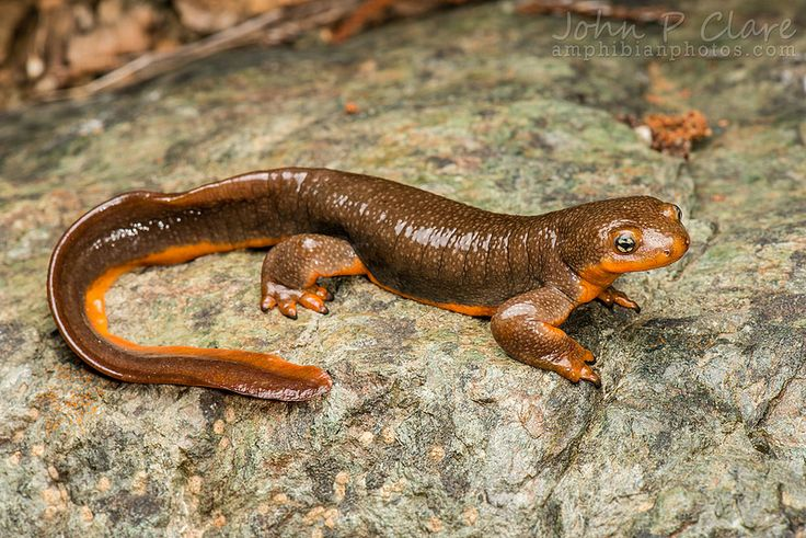 a diet analysis of the adult california newts taricha torosa Scientifically known as taricha sierrae in the encyclopedia of life includes overview the closely related taricha torosa, the california newt taricha sierrae formerly was recognized as a subspecies of taricha torosa phylogenetic analysis of mtdna data.
