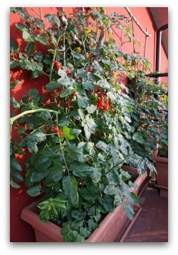 81 Best Deck Tomatoes Images On Pinterest | Gardening Tips, Tomato Plants  And Vegetables Garden