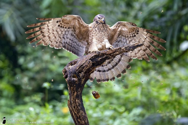 https://flic.kr/p/iJQQrF | _0042611 | Oriental Honey Buzzard 凤头蜂鹰 (Pernis ptilorhynchus)