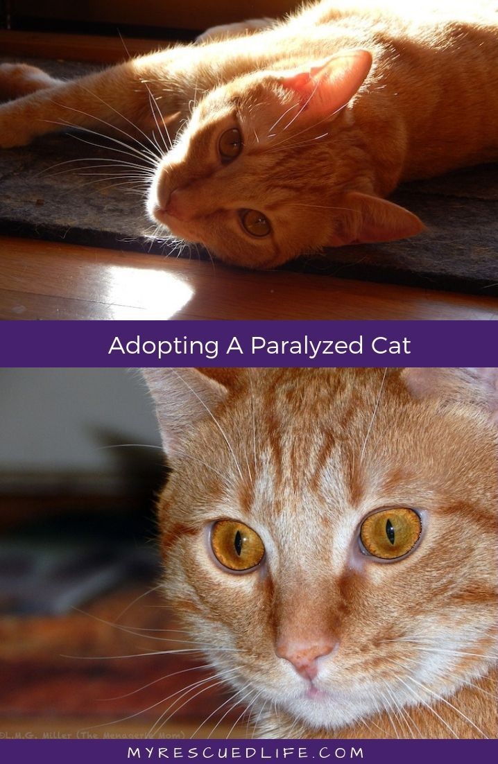 Learn More About Adopting A Paralyzed Cat And Read The Inspiring Poignant Story Of Evan His Hind Legs Were Paralyzed When He Was Ro Cats Sick Cat Kitten Care