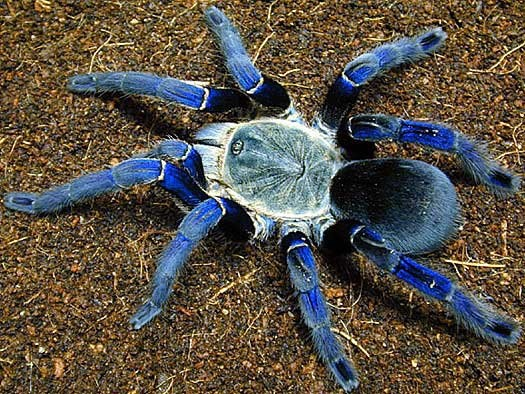 Metallic Blue Ornamental Tree Spider  (Poecilotheria metallica)